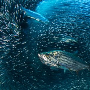 A long exposure of a group of tarpon (Megalops atlanticus) hunting a school of silversides (Atherinidae) in a coral cavern. East End, Grand Cayman, Cayman Islands, British West Indies. Caribbean Sea.
