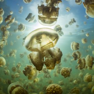 An aggregation of golden jellyfish (Mastigias sp.) in a marine lake in Palau, the golden colour of this species comes from symbiotic algae in its tissues. Jellyfish Lake, Eil Malk island, Rock Islands, Palau. Tropical north Pacific Ocean.
