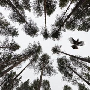 Eurasian jay (Garrulus glandarius) Description: Eurasian jay, Garrulus glandarius, flying in Scots pine forest against cloudy sky. Muddus National Park, Sweden. Place: Muddus National Park, Sweden Make: NIKON CORPORATION Model: NIKON D800E ExposureTime: 1/1600 Date: 02-11-2016 ApertureFN: f/5.0 ISOSpeed: 2500 FocalLength: 14/1