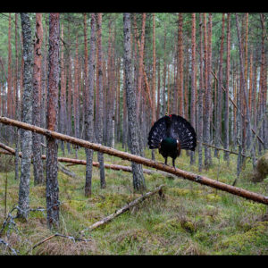 King Description: Male capercaillie displaying in a pine forest. Place: Tartumaa, Estonia. Make: NIKON CORPORATION Model: NIKON D810 ExposureTime: 1/320 Date: 04-05-2015 ApertureFN: f/2.8 ISOSpeed: 1250 FocalLength: 320/10