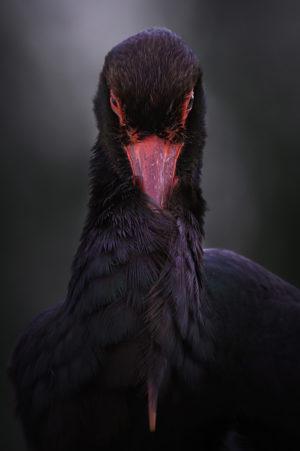 catégorie oiseau dans tous ses états - TOKOLYI CSABA